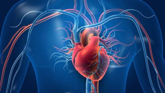 Das menschliche Herz - Anatomie
