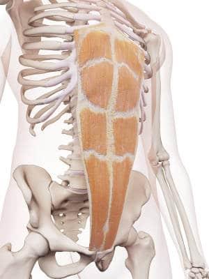 die geraden Bauchmuskeln - anatomisch korrektes Modell