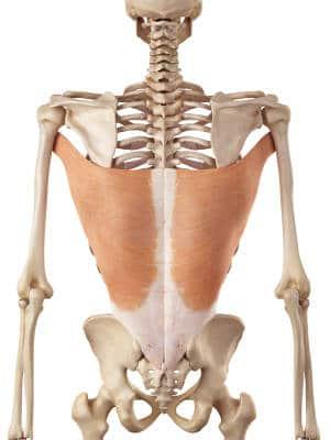 Latissimus dorsi - der Muskel für die Klimmzüge